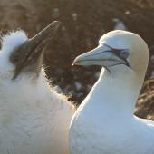 Australasian gannet. Adult with begging chick. Cape Kidnappers, Plateau Colony, January 2010. Image © Steffi Ismar by Steffi Ismar Courtesy of S. Ismar.