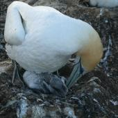Australasian gannet. Adult preening chick. Cape Kidnappers, Plateau colony, January 2010. Image © Steffi Ismar by Steffi Ismar Courtesy of S. Ismar.