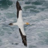 Australasian gannet. Dorsal view of adult in flight. Muriwai, January 2009. Image © Peter Reese by Peter Reese