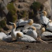 Australasian gannet. Adults with chicks. Muriwai, January 2009. Image © Peter Reese by Peter Reese