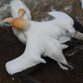 Australasian gannet. Pair mating. Muriwai, October 2011. Image © Peter Reese by Peter Reese
