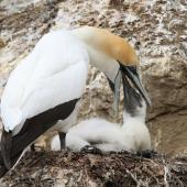 Australasian gannet. Adult regurgitating food for chick. Cape Kidnappers, Hawke's Bay, December 2013. Image © Adam Clarke by Adam Clarke