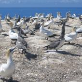 Australasian gannet. Adults and juveniles in colony. Cape Kidnappers, Hawke's Bay, March 2005. Image © Ian Armitage by Ian Armitage