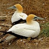 Australasian gannet. Adults sitting on an egg. Farewell Spit colony, Golden Bay, November 2012. Image © Rebecca Bowater FPSNZ by Rebecca Bowater  FPSNZ www.floraandfauna.co.nz