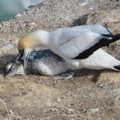 Australasian gannet. Mother trying to prod life into her dead chick. Muriwai gannet colony, May 2016. Image © Marie-Louise Myburgh by Marie-Louise Myburgh