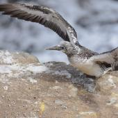 Australasian gannet. Fully-grown chick exercising its wings. Muriwai gannet colony, Auckland, March 2016. Image © Marie-Louise Myburgh by Marie-Louise Myburgh