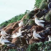 Australasian gannet. New Zealand's southernmost gannet colony. Little Solander Island, July 1985. Image © Colin Miskelly by Colin Miskelly