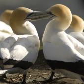 Australasian gannet. Courtship. Muriwai, Auckland. Image © Eugene Polkan by Eugene Polkan