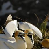 Australasian gannet. Pair calling at colony. Muriwai. Image © Eugene Polkan by Eugene Polkan