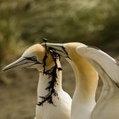 Australasian gannet. Courtship. Muriwai. Image © Eugene Polkan by Eugene Polkan