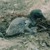 Australasian gannet. Young chick in nest. White Island, Bay of Plenty, November 1972. Image © Department of Conservation (image ref: 10041855) by Chris Smuts-Kennedy, Department of Conservation Courtesy of Department of Conservation
