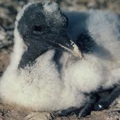 Australasian gannet. Chick c.3 weeks old. Cape Kidnappers. Image © Department of Conservation (image ref: 10049386) by Chris Rudge, Department of Conservation Courtesy of Department of Conservation