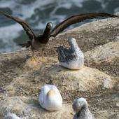 Brown booby. Immature with wings raised, among juvenile gannets. Muriwai gannet colony, March 2016. Image © John and Melody Anderson, Wayfarer International Ltd by John and Melody Anderson Love our Birds® | www.wayfarerimages.co.nz