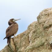 Brown booby. Immature. Muriwai, March 2012. Image © Neil Fitzgerald by Neil Fitzgerald www.neilfitzgeraldphoto.co.nz