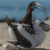 Brown booby. Adult male with chick. Michaelmas Cay, January 2017. Image © Imogen Warren by Imogen Warren