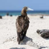Brown booby. Immature. Michaelmas Cay, Queensland, Australia, July 2015. Image © John Fennell by John Fennell