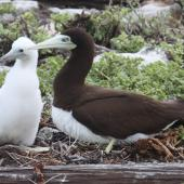 Brown booby. Adult and chick. McKean, Phoenix Islands, June 2008. Image © Mike Thorsen by Mike Thorsen