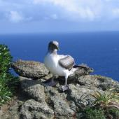Masked booby. Fledgling. Macauley Island, August 2006. Image © Terry Greene by Terry Greene
