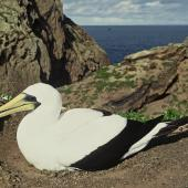 Masked booby. Adult on nest. Kermadec Islands. Image © Department of Conservation (image ref: 10053816) by Warwick Murray, Department of Conservation Courtesy of Department of Conservation