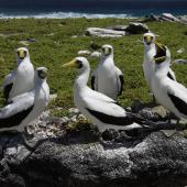 Masked booby. Roosting adults. Rawaki, Phoenix Islands, June 2008. Image © Mike Thorsen by Mike Thorsen