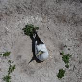 Masked booby. Adult on nest. Rawaki, Phoenix Islands, May 2008. Image © Mike Thorsen by Mike Thorsen