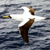 Masked booby. Adult (subspecies dactylatra) in flight. Tropical Atlantic Ocean between Brazil and Cape Verde Islands, April 2015. Image © Sheila Cook by Sheila Cook