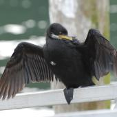 Little shag. Dorsal view of adult white-throated morph. Picton, October 2008. Image © Peter Reese by Peter Reese