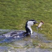 Little shag. Adult pied morph eating a freshwater crayfish. Hamurana Springs, Rotorua, January 2014. Image © Raewyn Adams by Raewyn Adams