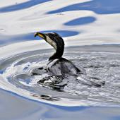 Little shag. White-throated morph fishing. Tauranga, September 2012. Image © Raewyn Adams by Raewyn Adams