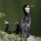 Little shag. Adult and juveniles at nest. Wanganui, November 2012. Image © Ormond Torr by Ormond Torr