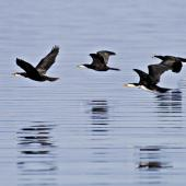 Little shag. Flock in flight, white-throated and pied morphs. Katikati, July 2012. Image © Raewyn Adams by Raewyn Adams