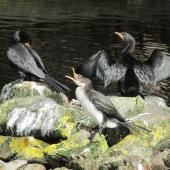 Little shag. Black morph and pied morph juveniles. Days Bay, December 2014. Image © Oscar Thomas by Oscar Thomas https://www.flickr.com/photos/kokakola11