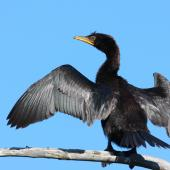 Little shag. Immature drying wings. Waikanae Beach lagoon, April 2011. Image © Phil Battley by Phil Battley