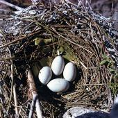 Little shag. Nest with 4 eggs. Lake Rotorua, Kaikoura, September 1958. Image © Department of Conservation (image ref: 10029807) by Peter Morrison, Department of Conservation Courtesy of Department of Conservation