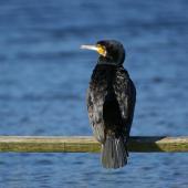 Black shag. Adult showing back. Lake Okareka. Image © Noel Knight by Noel Knight