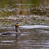 Black shag. Adult in non-breeding plumage swimming. Hamurana Springs, September 2012. Image © Raewyn Adams by Raewyn Adams