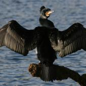 Black shag. Adult in breeding plumage drying wings. Wanganui, June 2007. Image © Ormond Torr by Ormond Torr