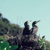 Black shag. Adult pair on nest. Lake Kohangatera, Pencarrow, Wellington, August 1975. Image © Department of Conservation (image ref: 10030911) by John Kendrick, Department of Conservation Courtesy of Department of Conservation