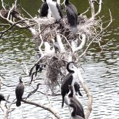 Pied shag. Adults and large chicks in tree colony. Mayor Island, November 2007. Image © Peter Reese by Peter Reese