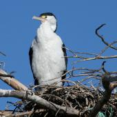 Pied shag. Adult standing on nest in tree. Boulder Bank Nelson, December 2007. Image © Rebecca Bowater FPSNZ by Rebecca Bowater  FPSNZ Courtesy of Rebecca Bowaterwww.floraandfauna.co.nz