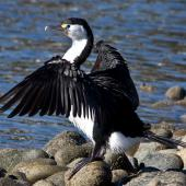 Pied shag. Adult drying wings showing primaries. Haulashore Island, Nelson, June 2009. Image © Rebecca Bowater FPSNZ by Rebecca Bowater  FPSNZ Courtesy of Rebecca Bowaterwww.floraandfauna.co.nz