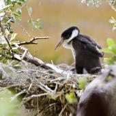 Pied shag. Chick in nest. Tauranga, December 2010. Image © Raewyn Adams by Raewyn Adams
