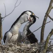 Pied shag. Adult feeding young on nest. , September 2014. Image © Kathy Reid by Kathy Reid https://www.flickr.com/photos/kathy55/