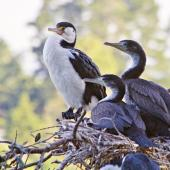 Pied shag. Two juveniles and an adult at the nest. Tauranga, January 2011. Image © Raewyn Adams by Raewyn Adams