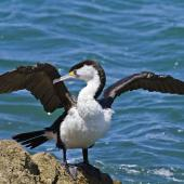 Pied shag. Adult drying wings. Tauranga, January 2012. Image © Raewyn Adams by Raewyn Adams