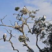 Pied shag. Colony in tree. Tauranga, September 2011. Image © Raewyn Adams by Raewyn Adams