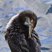 Pied shag. Immature preening. Mount Maunganui, March 2012. Image © Raewyn Adams by Raewyn Adams
