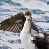 Pied shag. Front view of immature. Mount Maunganui, March 2012. Image © Raewyn Adams by Raewyn Adams
