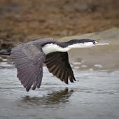 Pied shag. Adult in flight showing upperwing. Orewa, October 2009. Image © Tony Whitehead by Tony Whitehead Tony Whiteheadwww.wildlight.co.nz