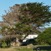 Pied shag. Nesting tree. Waimanu Lagoon, Waikanae, December 2014. Image © Alan Tennyson by Alan Tennyson